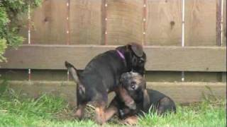 Kilcreggan Border Terrier Puppies Wally And Mac - 9 Weeks