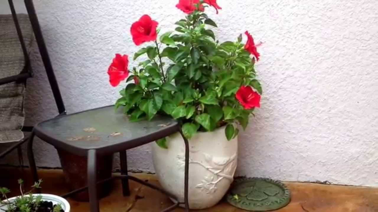 Hibiscus Container Grown Flowers Youtube