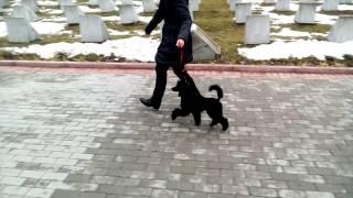 Малый пудель Гуффи, 4,5 месяцев, первые попытки хендлинга))))