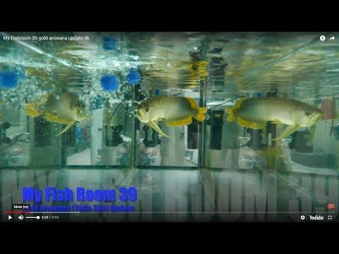 [My Fish Room 39] [4k]  Gold (Yellow Tail) Arowana Update