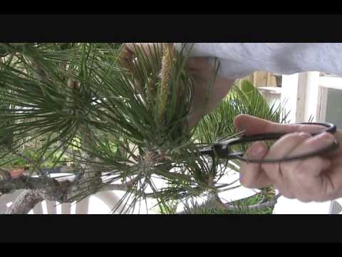Japanese Black Pine Bonsai Pruning Youtube