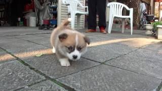 コーギーの子犬が生まれていますよ http://www.woof.jp/wcp.html.