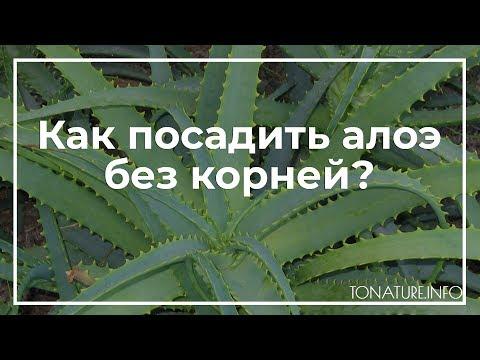 Как посадить алоэ без корней? | toNature.Info