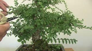 Pruning a Chinese Elm Bonsai 1