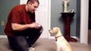 Puppy: 2 Month Yellow Lab Tricks