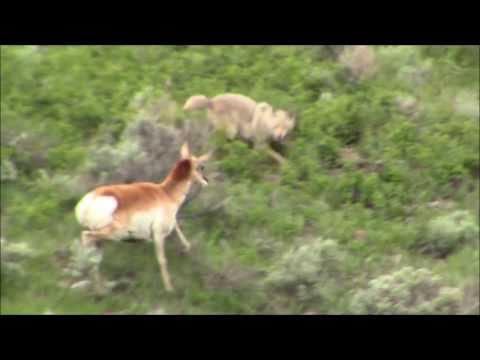 Pronghorn antelope vs Coyote in Yellowstone