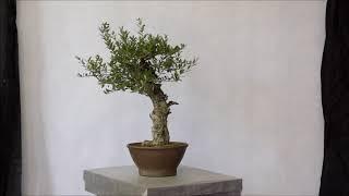 Oliwka europejska .1 (Olea europaea / European Olive)