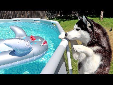 shark-in-the-husky-pool!