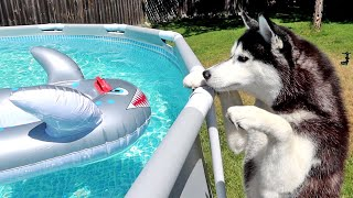 Shark In the Husky Pool!