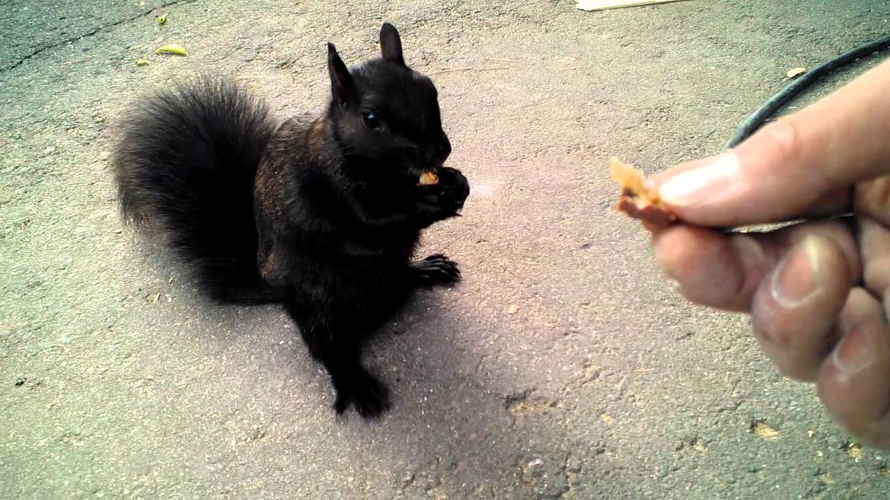 Feeding And Petting A Friendly Black Squirrel YouTube - Cat squirrel playing cutest thing youll see day