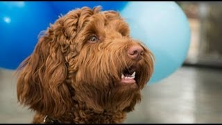 Nait's Therapy Dog, Flynn, Graduates With Honours!