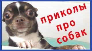 Приколы с моими собаками Смешное Видео про Масю и Тимку