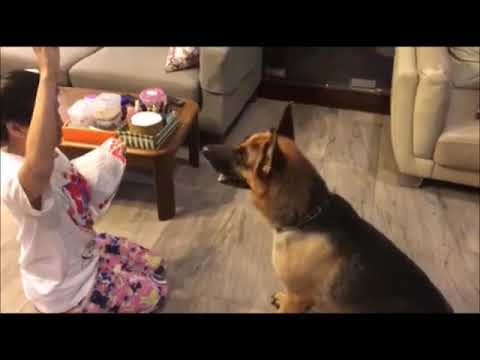 German shepherd dog was excited about the new snack