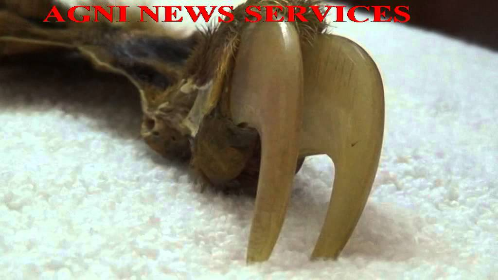 THENI    FAKE TIGER NAIL SEIZED , ONE ARRESTED  by agni india