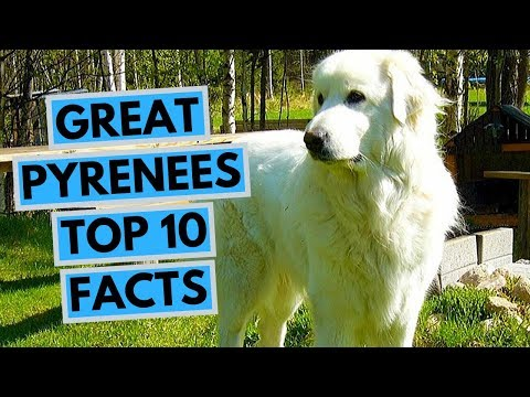 Great Pyrenees - TOP 10 Interesting Facts