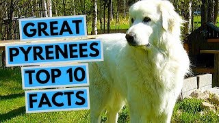 Great Pyrenees  TOP 10 Interesting Facts