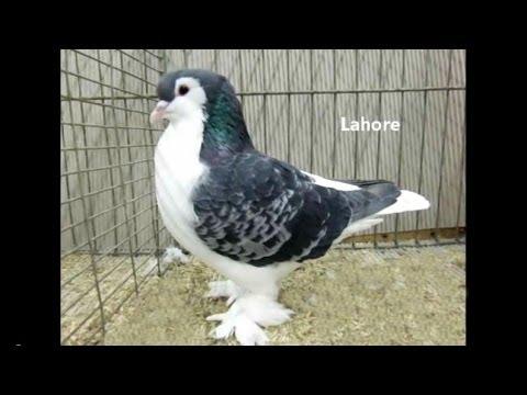 Fancy Pigeon Breeds L Rassetauben In Englisch Mit L Youtube