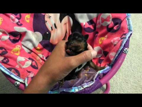 Yorkie Puppies for sale in Austin, TX -1/21/2016