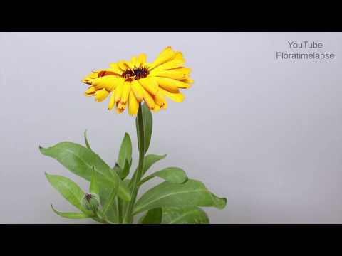 Zinnia Blooming Time Lapse