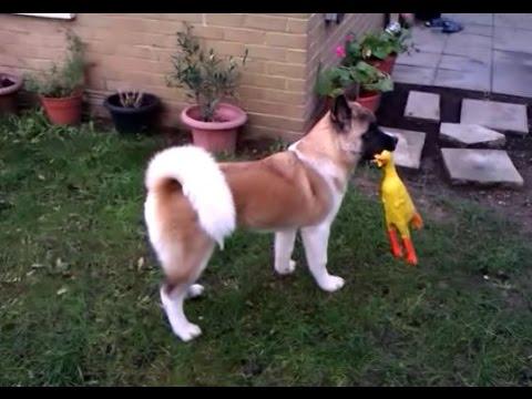 Japanese Akita Inu - Puppy Days