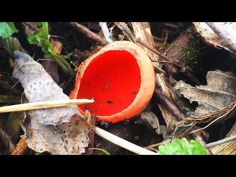 Первые весенние грибы. Саркосцифа алая. Сморчки и строчки.