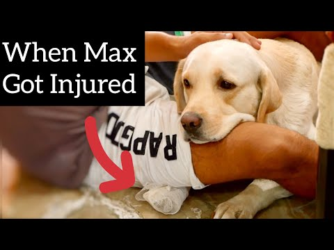 When Max Got Injured, Whole Family Comforted Him. (Pampered Child)