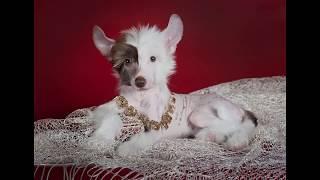 Китайская хохлатая собака (Chinese Crested Dog) - порода собак
