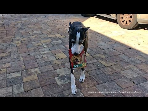 clever-great-dane-delivers-milk-bone-dog-treats