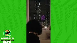 Cute Dog Watches Fireworks   Animals Doing Things Clips