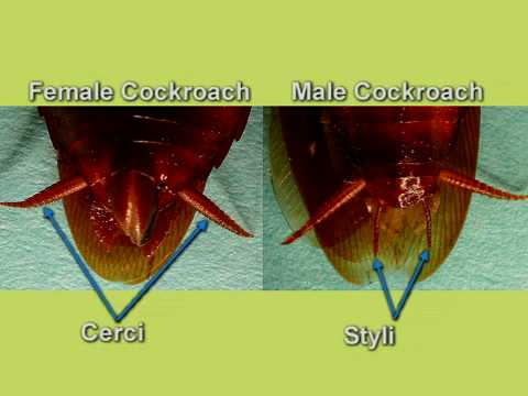 Cockroach dissection reproductive system youtube ccuart