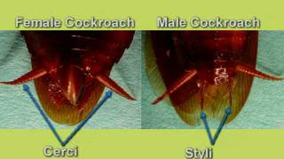Cockroach dissection - Reproductive system