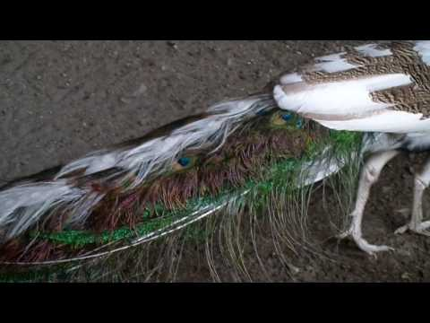 Half white peacock spreads his feathers  -  PIED PEACOCK - Bird and Animals