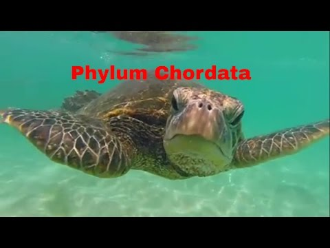 Phylum Chordata-Which Animals Belong?