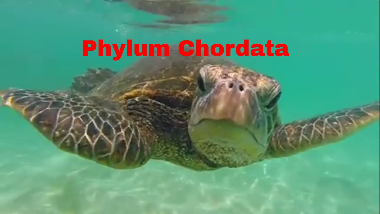 phylum chordata Define phylum phylum synonyms, phylum pronunciation, phylum translation, english dictionary definition of phylum n pl phy a 1 biology a taxonomic category of.