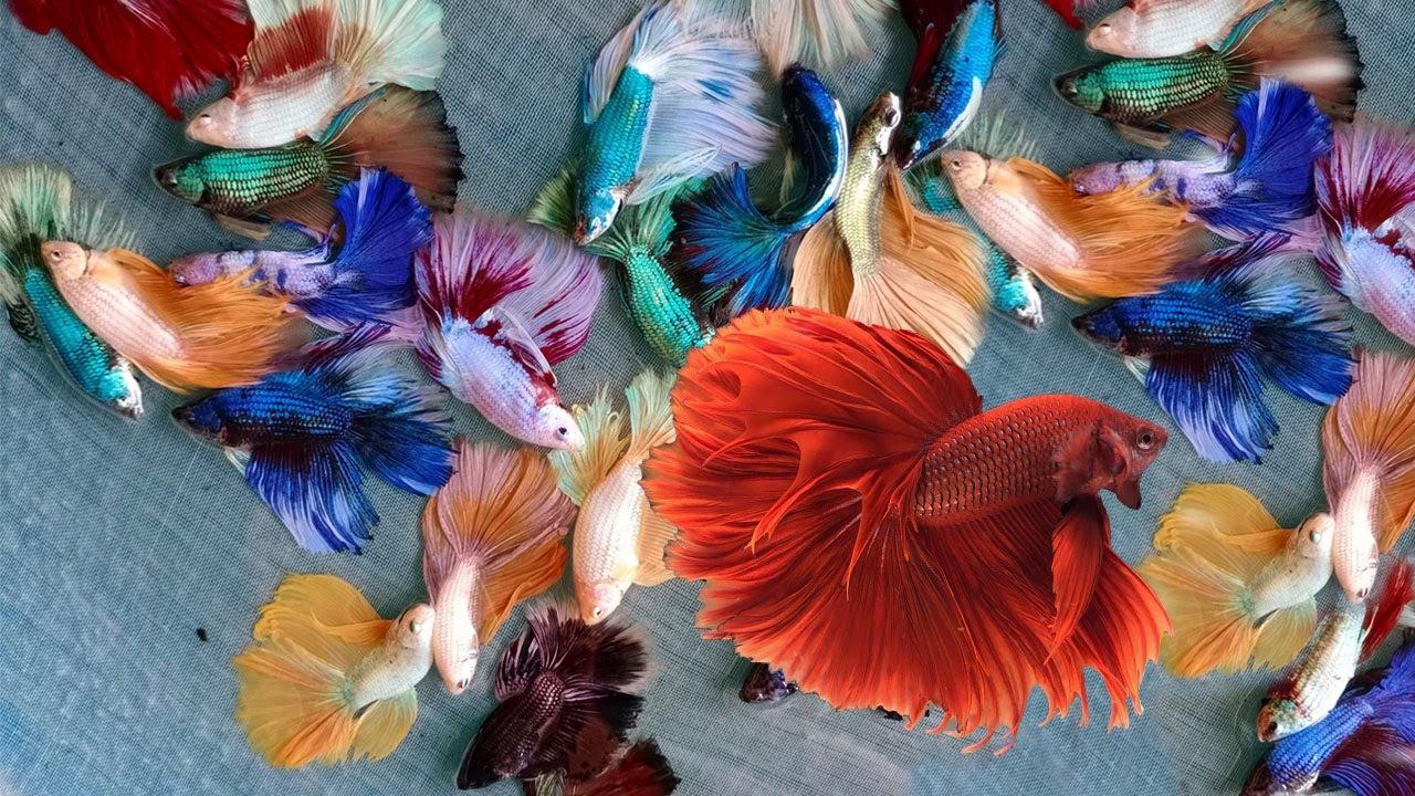 Best quality Thai bettas fish for sale