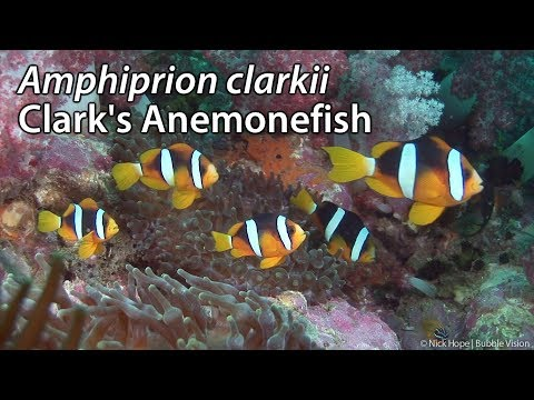 Clark's Anemonefish (Amphiprion Clarkii) Stock Footage - HDV 1080-50i
