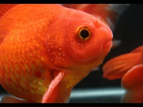 White Spots On Goldfish Fins? | Breeding Tubercles 101
