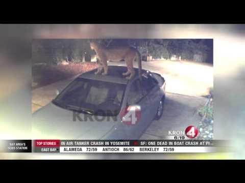Mountain Lion Caught on Camera Prowling San Jose Neighborhood