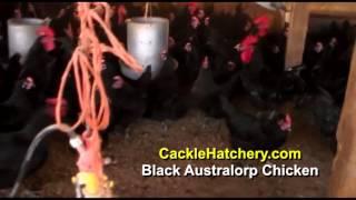 Black Australorp Chicken Breed (Breeder Flock)