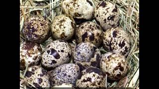 Shape of birds' eggs linked to flight demands