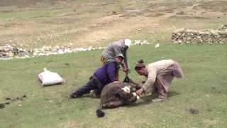 Yak Attack Shandur Pass