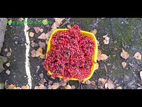 Как приготовить варенье из красной рябины на зиму