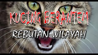 Suara Kucing Berantem Rebutan Wilayah Bikin Bingung Kucing Tetangga