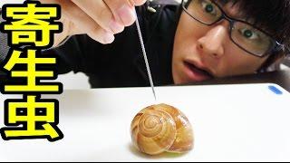 寄生虫のかたまり。『マイマイ』の食べ方って知ってる? 広東住血線虫 検索動画 17