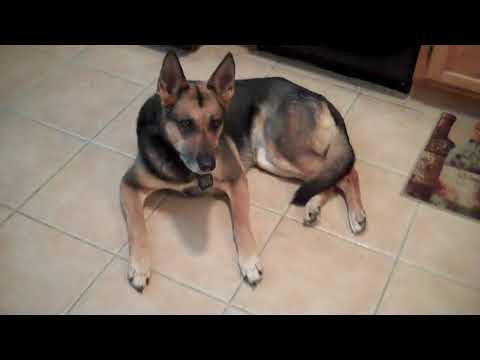 Day 56 Post CCL ACL Tear German Shepherd Dog Zero Physical Therapy 'sit Stands'