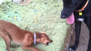 Little Pitz (pinscher Chiwawa) Vs. Giant Pedro's Tongue