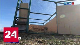 Фото Браконьеры не побеспокоят в Ростовской области в дикую природу выпустили чипированных сайгаков - …