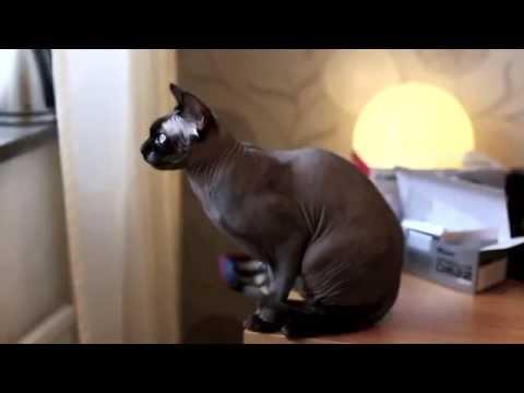 Cat Lovers: Sphynx Cat