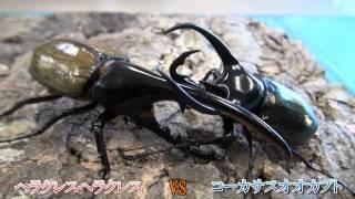 大迫力!! オオカブト対決 thumbnail