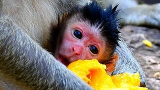 WELCOME NEWBORN BABY MONKEY OF JILL ! Jill give new baby near sunrise this Morning.